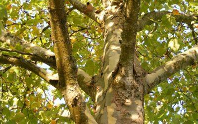 Traitements contre les parasites sur les arbres communaux